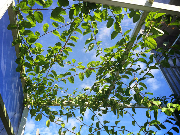 "the ""ceiling"" of the screened-in lanai with passiflora vine"