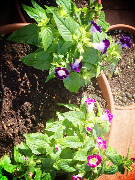 a new favorite - wishbone flower