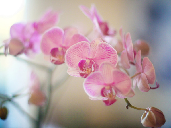 One of the seven (!) orchids in bloom in our kitchen
