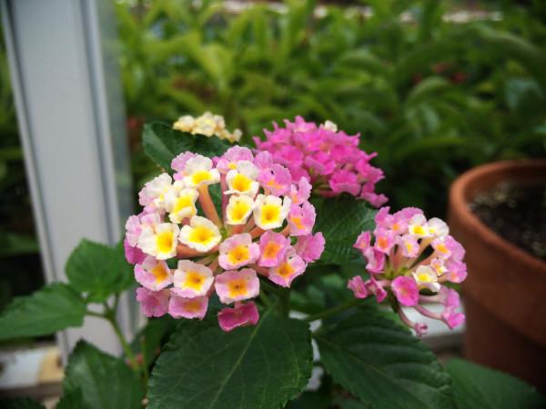 lantana from my garden