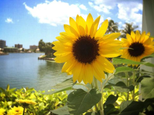 sunflowers in the garden (taken in May)