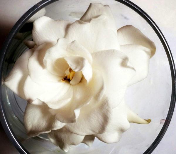 gardenia from the garden